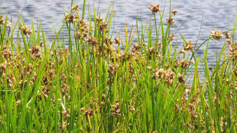 Comment liminer le scirpe maritime dans un plan d 39 eau - Comment eliminer des fourmis dans le jardin ...