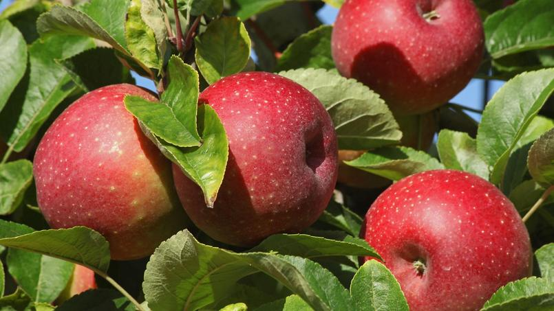Jardin: c'est le moment de croquer la pomme !