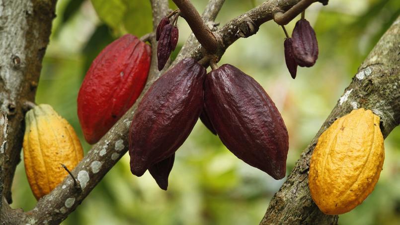 171 Quand Il Est Bien Cultiv 233 Le Cacao N Est Pas Amer 187 Le