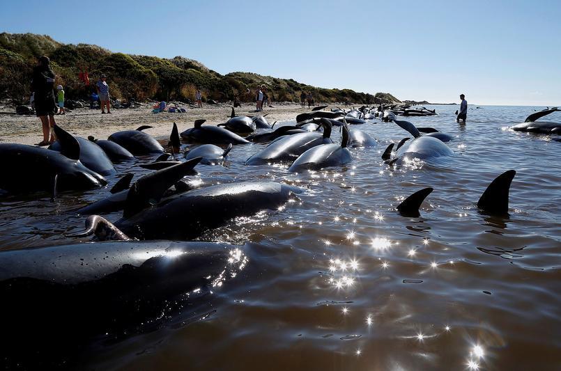 Samedi, 200 baleines supplémentaires se sont ajoutées aux 416 baleines échouées vendredi.