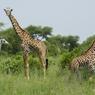 Scène insolite avec l'apparition d'une adorable petite girafe albinos. Facilement repérable, sa différence la rend plus vulnérable que ses congénères.