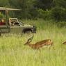 C'est un spectacle permanent mais jamais semblable. Ici, l'observation d'un troupeau d'impalas se fait à distance.