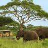 Une brousse riche et préservée où les éléphants se déplacent en paix, suivant une route de migration ancestrale et naturelle.