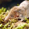 Les musaraignes - qu'il ne faut pas confondre avec les souris- peuvent dévorer, en une seule journée, l'équivalent de leur propre poids en insectes.