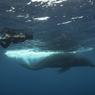 Après avoir nager quelques temps près de son visiteur, la baleine s'éloigne dans le bleu insondable de l'océan.
