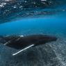 Le lait de la baleine est l'un des plus riches en matière grasse (50%). Après trois mois de ce régime dans les eaux de Polynésie, le baleineau aura doublé sa taille et pris entre 50 et 80 kg par jour.