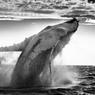 Un corps massif et une tête hérissée de protubérances jaillissent hors de l'eau pour retomber sur le dos. La baleine à bosse effectue des sauts impressionnants, un spectacle aussi magique qu'imprévisible.