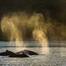En remontant à la surface, la baleine expulse l'air vicié de ses poumons. Ce «souffle» s'élève jusqu'à 3 mètres au dessus de la surface permettant de repérer l'animal.