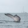 Puissante, la nageoire caudale d'une baleine à bosse adulte a une envergure d'environ 4 mètres.