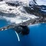 Présentant des taches et scarifications spécifiques à chaque individu, la nageoire caudale est à la baleine à bosse ce que les empreintes digitales sont à l'homme.