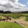 60% du vignoble uruguayen se situe dans la région de Montevideo. Hôtels (ici la Posada Aguaverde) et producteurs ont développé une route des vins pour guider les visiteurs à découvrir la région.