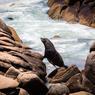 Désormais protégés, les lions de mer de l'archipel de Islas de Torres peuvent vivre en toute tranquillité dans les eaux mouvementées de l'océan Atlantique.