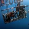 JEUX INTERDITS.Cette photo a beau être sensationnelle, elle pourrait devenir une pièce à conviction dans un procès en flagrant délit écologique, mené contre ces touristes-plongeurs par l'autorité de surveillance des parcs naturels et marins du Mexique. Car ce qu'ils font   appâter un grand requin blanc puis sortir bras et tête de la cage pour le toucher   est strictement interdit par le règlement de protection de ces gigantesques squales… et de cette attraction touristique très rentable de l'île volcanique de Guadalupe, au large de la péninsule de la Basse-Californie. La croisière de six jours, agrémentée de plongées en cage auxquelles participent ces hommes, coûte par exemple entre 2500 et 3800 €, selon le luxe de la cabine.