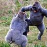 VÉGÉTARIENS MAIS CARNASSIERS.A observer ce début de rixe entre deux grands gorilles mâles, toutes dents dehors, on peine à croire que l'enjeu de leur querelle n'était qu'une patate cuite, une vulgaire pomme de terre en robe des champs dont ces végétariens raffolent. La scène a été photographiée le 6 mars dans un zoo du Devon, au sud-ouest de l'Angleterre, et elle s'est achevée, aux dires des gardiens, sans coups ni blessures. Mais cet affrontement entre Pertinax, de face (34 ans, 172 kilos) et Kiondo, de dos (13 ans, 186 kilos), cachait peut-être un enjeu plus sérieux, motivé par le récent départ pour un autre zoo de l'un des mâles dominants de la tribu, n'en laissant ainsi plus que quatre pour trois femelles.