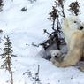 PREMIÈRE SORTIE.Pour capturer ce rare instant, le photographe Thomas Kokta a passé plus de onze jours dans la neige épaisse et le vent violent du Wapusk National Park, au Canada, où des centaines d'ours blancs mettent bas. Après une longue et vaine attente, soudain, un matin, par une température de -55°C, cette femelle et ses deux petits à peine âgés de 2mois ont franchi la porte de leur tanière hivernale. Une rencontre fascinante et intime entre un naturaliste passionné et trois animaux d'une splendide beauté sauvage. Encore un peu endormis, patauds et éblouis par la lumière, les oursons ont marqué un court temps d'arrêt avant de partir explorer leur nouveau territoire, sous le regard inquiet de leur mère
