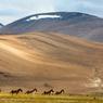 Sur le plateau de Changtang dans la vallée de Rupsko, rencontre d'un troupeau de kiangs, dernière espèce d'ânes sauvages du Tibet.