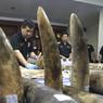 SAISIE RECORD. Mardi 5 avril, près de 315,2 kg d'ivoire ont été saisis par les autorités thaïlandaises. En provenance du Mozambique, ces cornes de rhinocéros ont été récupérées par les douanes avant d'être présentées pendant une conférence de presse à Bangkok. Il y a une semaine, les autorités kenyanes avaient intercepté 64 kg d'ivoire, encore à destination de la Thaïlande.