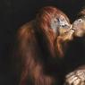 UN BAISER SI HUMAIN.Baignés dans cette lumière étrange qui rappelle le clair-obscur d'un tableau de Georges de La Tour, ces deux orangs-outans de Sumatra, pensionnaires du zoo de Melbourne (Australie), partagent un saisissant instant de tendresse. Un moment troublant qui vient raviver cette impression de proximité, presque dérangeante, entre les grands singes et les êtres humains. Peu importe ici que ces animaux accordent ou non la même importance que nous au baiser, à l'amitié ou au sens de l'étreinte amoureuse. Reste l'émotion. Cette photographie fait partie d'un travail commencé en 2014 par Arthur Xanthopoulos pour attirer l'attention du grand public sur l'importance de la protection des espèces animales en danger dans le monde.