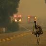 SAUVE QUI PEUT. Le Sud-Ouest de la Californie est, depuis quelques jours, touché par de fortes chaleurs. Elles ont favorisé le déclenchement d'un incendie samedi 19 juin qui se propage depuis dans la forêt, aux abords de la ville de Potrero. Alimenté par des vents puissants, il s'est étendu sur plus de 600 hectares, donnant lieu à des images insolites comme ici où l'on voit une autruche fuir le feu en courant sur la route.