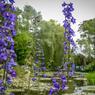 L'éclatante floraison des delphiniums, ou pieds-d'alouette.