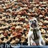 DO YOU KNOW DORIS ? : Un jeune bouledogue français du nom de Doris prend la pose devant ses homologues en peluche, à Londres. L'association Dogs Trust lance ainsi sa campagne de sensibilisation contre le commerce illégal de chiots en Grande-Bretagne. Les chiots, venant principalement d'Europe centrale, sont élevés dans des conditions sanitaires invérifiables puis vendus en grand nombre en Angleterre.