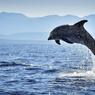 Losinj héberge dans ses eaux la plus importante population de dauphins de l'Adriatique. Cette espèce protégée est le sujet d'un programme de recherche piloté par l'ONG Blue World de Veli Losinj.