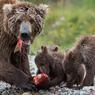 LE FESTIN DES OURSONS. Sous la surveillance de leur mère, à l'écart des mâles, ces 3 jeunes oursons se gavent de saumon rouge d'Alaska qui, entre la mi-juin et la mi-septembre remontent vers leurs frayères. Ils doivent prendre le maximum de protéïnes pour survivre aux rigueurs de l'hiver dans le Parc national de Katmai.