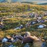FOUDROYÉS. 323 rennes ont été foudroyé simultanément sur le haut plateau de Hardanger, dans le sud de la Norvège, entre Oslo et Bergen. Sur les lieux, les experts norvégiens tentent de trouver une explication à l'ampleur de ce phénomène.
