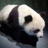 Grand panda naturalisé.