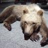 Bébé ours brun naturalisé.