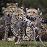 HUNGER GAMES.Ils ne sont âgés que de 6 à 9 mois, mais ces jeunes guépards savent déjà chasser comme des grands. Sous les yeux de leur mère, ils s'entraînent sans état d'âme avec ce faon de gazelle de Thomson, capturé vivant pour leur apprendre à se nourrir seuls. Oui, la nature est cruelle et ne laisse aucune chance aux plus faibles. Cette scène sans fard de la vie ordinaire dans la réserve nationale du Masaï-Mara, au Kenya, vient rappeler que le monde sauvage ne ressemble pas du tout à l'univers pétri de bons sentiments des dessins animés de Walt Disney ou de DreamWorks. Ici, seule la survie des espèces compte. Et tant que l'équilibre de la biodiversité n'est pas rompu, les prédateurs ont encore de beaux jours devant eux.