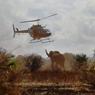 BALISE. Afin de mieux connaitre les routes de migration des éléphants du Kenya, des membres de l'IFAW (International Fund for Animal Welfare) et du KWS (Kenya Wildlife Service), ont posé des colliers sur deux pachydermes de la réserve d'Amboseli. Ils espèrent ainsi encore mieux connaitre les déplacements de ces grands mammifères et protéger une cohabitation de plus en plus compliquée entre les animaux et la population kenyane qui ne cesse d'augmenter.