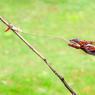 BRAVO L'ATHLÈTE! De tous les vertébrés, le caméléon est celui qui cumule le plus de bizarreries anatomiques. Par exemple, sa capacité bien connue à changer de couleur ou à contracter le volume et la forme de son corps, sa vision à 360° dans deux directions différentes ou sa queue, qui lui sert de cinquième patte pour ses acrobaties… ainsi qu'on peut le constater sur cette photo prise en Indonésie. Mais la plus extraordinaire réside dans les performances de sa langue, très visibles ici aussi! Enroulé au repos autour d'un os au fond de la gorge, cet appendice parfois plus long que son corps est capable de ventouser une proie en 20 millisecondes, ce qui correspond à une vitesse de 100 km/h atteinte en un centième de seconde!