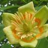 Fleur de tulipier de Virginie ( Liriodendron tulipifera).
