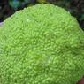 Le fruit, non comestible, de l'oranger des osages ( Maclura pomifera).
