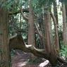 Le thuya géant de l'arboretum s'étend sur 1000 mètres carrés. Il est composé de 80 troncs!