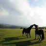 Des poneys sauvages dans le Parc National de Dartmoor.