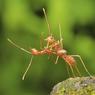 «Il faut être deux pour danser le tango» dit le proverbe (fourmis de feu en Indonésie)