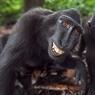 MAC CHEESE! Toutes dents dehors, ce macaque noir d'Indonésie démontre l'expressivité des mimiques dont son espèce est capable. Un sourire nettement plus sincère, en prime, que celui des autres macaques, argentés ou dorés, tous plus agressifs et dangereux que lui. Réputé pour sa sociabilité, le macaque noir n'est pourtant pas moins menacé par l'homme que les autres. En plus du braconnage et du vol de ses petits (enlevés pour leur chair autant que pour leur aptitude à amuser les enfants), ce primate doit en effet affronter les ravages de la déforestation. Et, même dans une réserve aussi protégée que le parc de Tangkoko, sur l'île des Célèbes, où cette photo a été prise, sa population a diminué de 80 % depuis quarante ans.