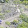 COURSE SAUVAGE.Ces deux coureurs isolés de la Cape Pioneer Trek, célèbre compétition cycliste d'Afrique du Sud, ne s'attendaient sans doute pas à se mesurer à ce concurrent particulièrement imprévu. Mais c'est le risque, quand on parcourt le bush africain. Très déterminée, peut-être même amusée, cette jeune girafe s'est lancée à cœur perdu dans la course. Un challenge, quand on sait que ces grands animaux sont capables d'atteindre la vitesse de 56 km/h au galop. Généralement peu agressives et très paisibles, les girafes prennent plutôt la fuite au contact des hommes. Mais, comme la plupart d'entre elles ont été réintroduites dans le pays dans des réserves, beaucoup ont appris à vivre à leurs côtés et à moins les craindre.