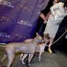 DÉFILÉ À QUATRE PATTES. Ce lundi 30 janvier, dans la salle mythique du Madison Square Garden à New York, des chiens sont présentés en vue du prochain concours de beauté canin qui accueille chaque année plus de 3000 individus. Le concours, qui existe depuis 139 ans, est organisé très solennellement et les participants ont droit à tous les honneurs !