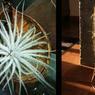 A gauche, une Tillandsia tectorum dans une noix de Bouddha ( Pterygota alata) présentée chez «Les demoiselles de l'air» à Nantes. À droite une Tillandsia usneoides, ou barbe de vieillard, bien installée dans une structure de himmeli chez la créatrice Nanné Frémont, à Paris.
