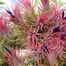 Tillandsia ionantha rubra en fleur.