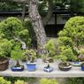 Les prix des bonsaïs varient en fonction de l'âge du spécimen et non de sa taille.