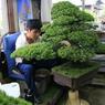 Kohei, 26 ans, le fils de Keiji Kandaka, participe au travail de la pépinière, comme le faisait son trisaïeul il y a plus d'un siècle.