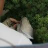 Kohei retire patiemment les vieilles aiguilles pour préserver la fraîcheur du branchage.