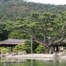 Dans le magnifique parc Ritsurin, ce Goyo Matsu (pin blanc du Japon) fut jadis un bonsaï amené en cadeau au seigneur de Takamatsu en 1833. Depuis qu'il pousse en pleine terre ses branches se sont tellement développées qu'elles doivent être soutenues par d'énormes tuteurs.