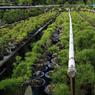 Des milliers de pins noirs et blancs sont élevés dans la pépinière de la famille Kandaka pour être vendus au Japon ou exportés vers les États-Unis, l'Europe, l'Asie.