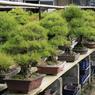 Forme, nuance de couleur... le pot est tout aussi important que l'arbre et doit s'harmoniser avec celui-ci.