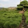 Soutenues par des échafaudages, les branches de ce pin, qui s'étalent autour de lui, mesurent plus de quatre mètres de long. Bien qu'il ne s'agisse pas d'un bonsaï, puisqu'il pousse en pleine terre, cet arbre est un chef-d'œuvre d'art topiaire dont Keiji Kandaka est particulièrement fier. Les visiteurs japonais viennent de loin pour l'admirer.